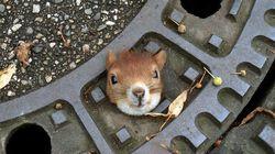 L'écureuil sauvé d'une plaque d'égout est finalement mort de