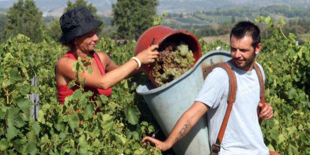 Roussillon: les vendanges ont commencé, l'année devrait être