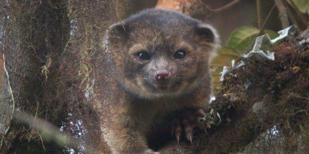 PHOTOS. L'olinguito, une nouvelle espèce de mammifère identifiée dans les