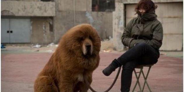 Un chien se fait passer pour un lion en Chine : le zoo ferme ses
