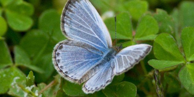 Fukushima: des papillons mutants découverts après l'accident