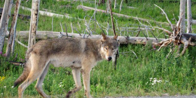 La chasse au loup autorisée dans le Var pour protéger le