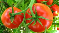 Pourquoi les tomates ont-elles aujourd'hui moins de