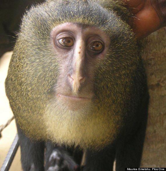 Lesula, la dernière espèce de singes