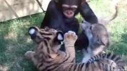 Un louveteau, un bébé chimpanzé et un tigreau, la vidéo la plus mignonne du