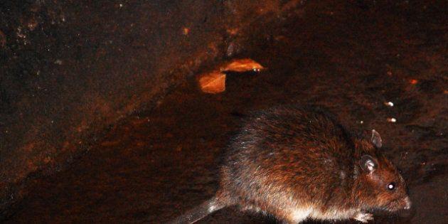 L'ouragan Sandy pourrait déplacer les rats, répandant des maladies