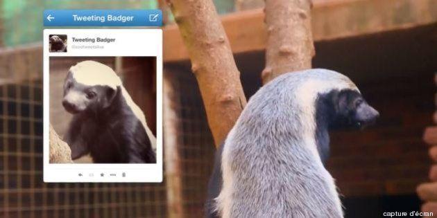 VIDEO - Le premier compte twitter d'un blaireau, community manager du zoo de