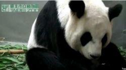 Voici comment accouche un panda
