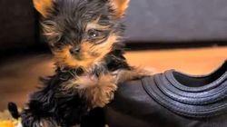Le plus petit chien au monde aussi grand qu'un