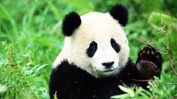 Bisbille entre Flamands et Wallons autour de deux pandas