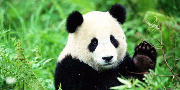 Deux pandas géants sèment le trouble en