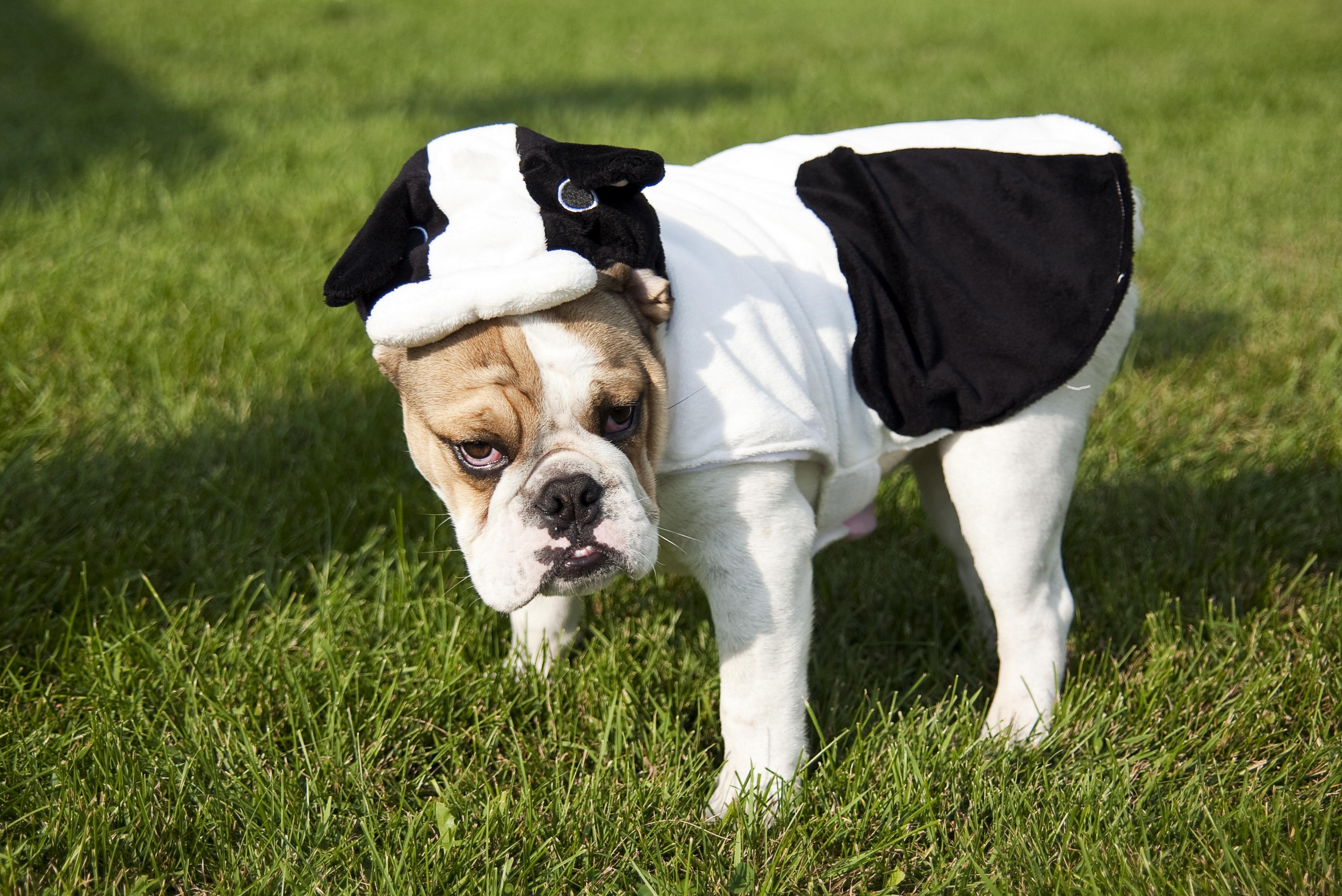 An English bulldog wearing cow costume