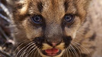 A mountain lion kitten which National Park Service researchers discovered in August 2018 in a remote area of the Santa Monica Mountains, California, U.S. is shown in this image released on September 4, 2018.  Courtesy National Park Service/Handout via REUTERS  ATTENTION EDITORS - THIS IMAGE HAS BEEN SUPPLIED BY A THIRD PARTY.