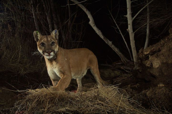 New Study Warns Of Extinction Threat For Southern California's Mountain Lions