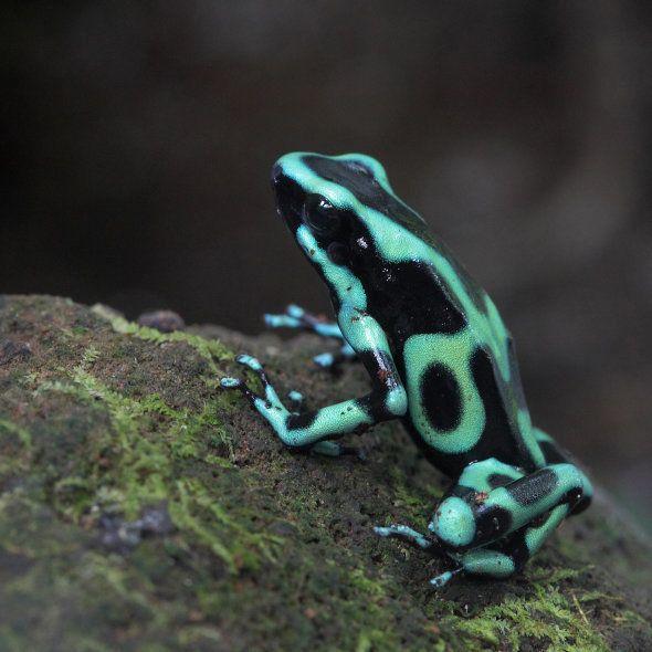 Green and Black Poison Dart Frog/Goldbaumsteiger (Dendrobates auratus), La Fortuna, Costa