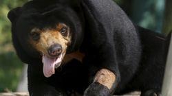 Οι μιμήσεις της αρκούδας του ήλιου αποκαλύπτουν περίπλοκες κοινωνικές