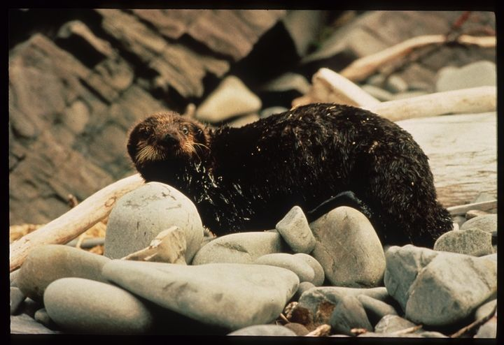 An otter coated in oil.