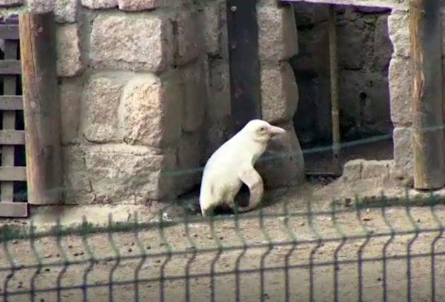 Πολωνία: Σπάνιος κατάλευκος πιγκουίνος κλέβει την