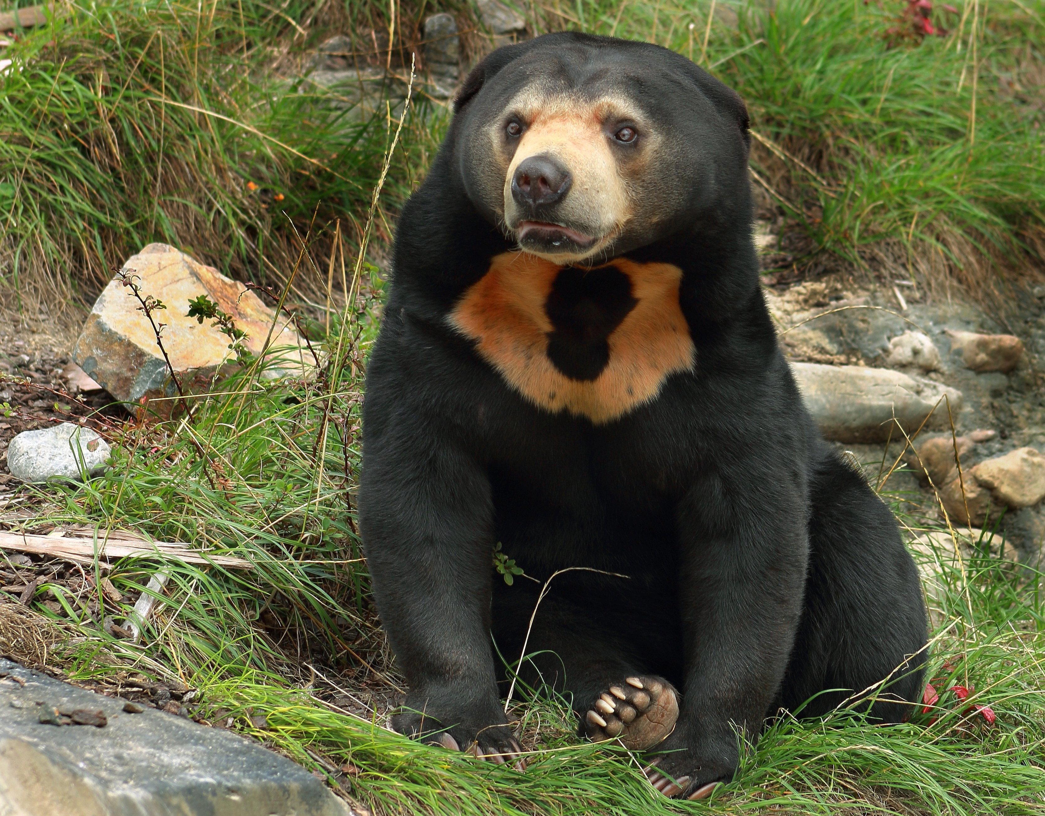A very cute sun bear at a New Zealand zoo.