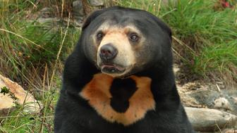 Sean the Sun bear at Wellington Zoo, NZ. Sun bears are under threat both directly and indirectly from human activities.  One of the major issues they face in the wild is deforestation.