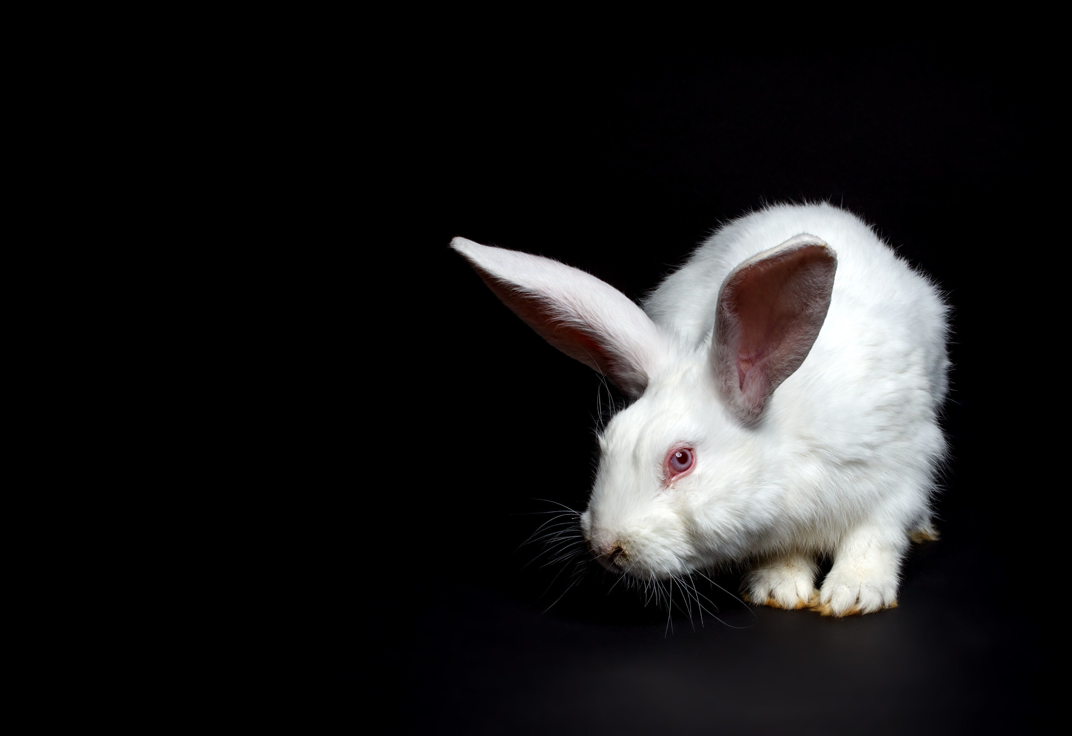 White rabbit on black background