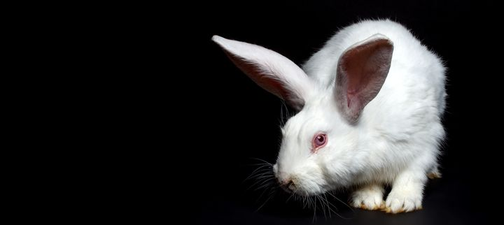 A rabbit with altered DNA (not pictured) mysteriously vanished last year at a University of Michigan lab, a new report shows.