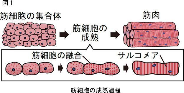 筋細胞の成熟過程