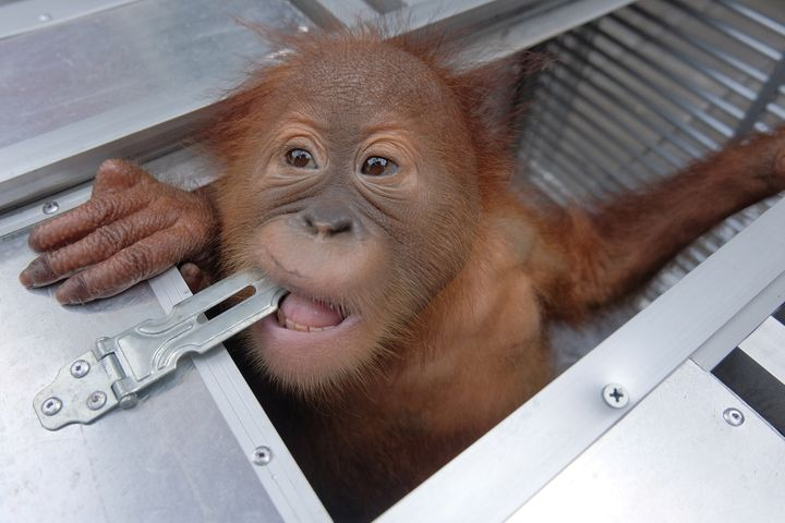 This two-year-old orangutan, pictured on Saturday, was found sedated in a Russian tourist's suitcase at the Bali airport, Ind