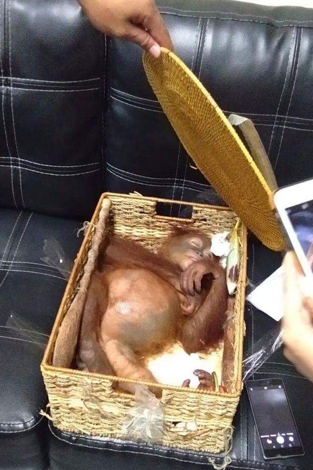ゼストコフのスーツケースの中で見つかったオランウータン。籐のバスケットの中で眠っている。