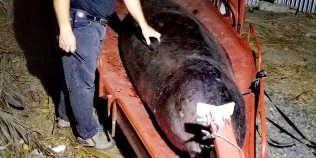 La baleine retrouvée échouée, ici sur le point d'être autopsiée, était incapable de se nourrir à cause...