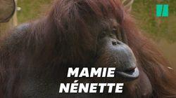 Nénette, star du Jardin des Plantes, va avoir 50