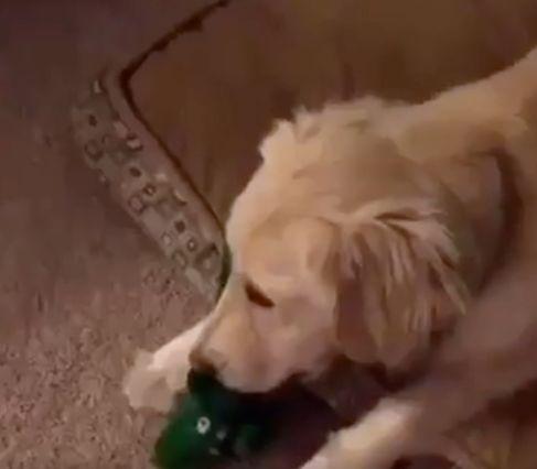 La reacción de este perro al ver a su dueño disfrazado de su juguete favorito no te dejará