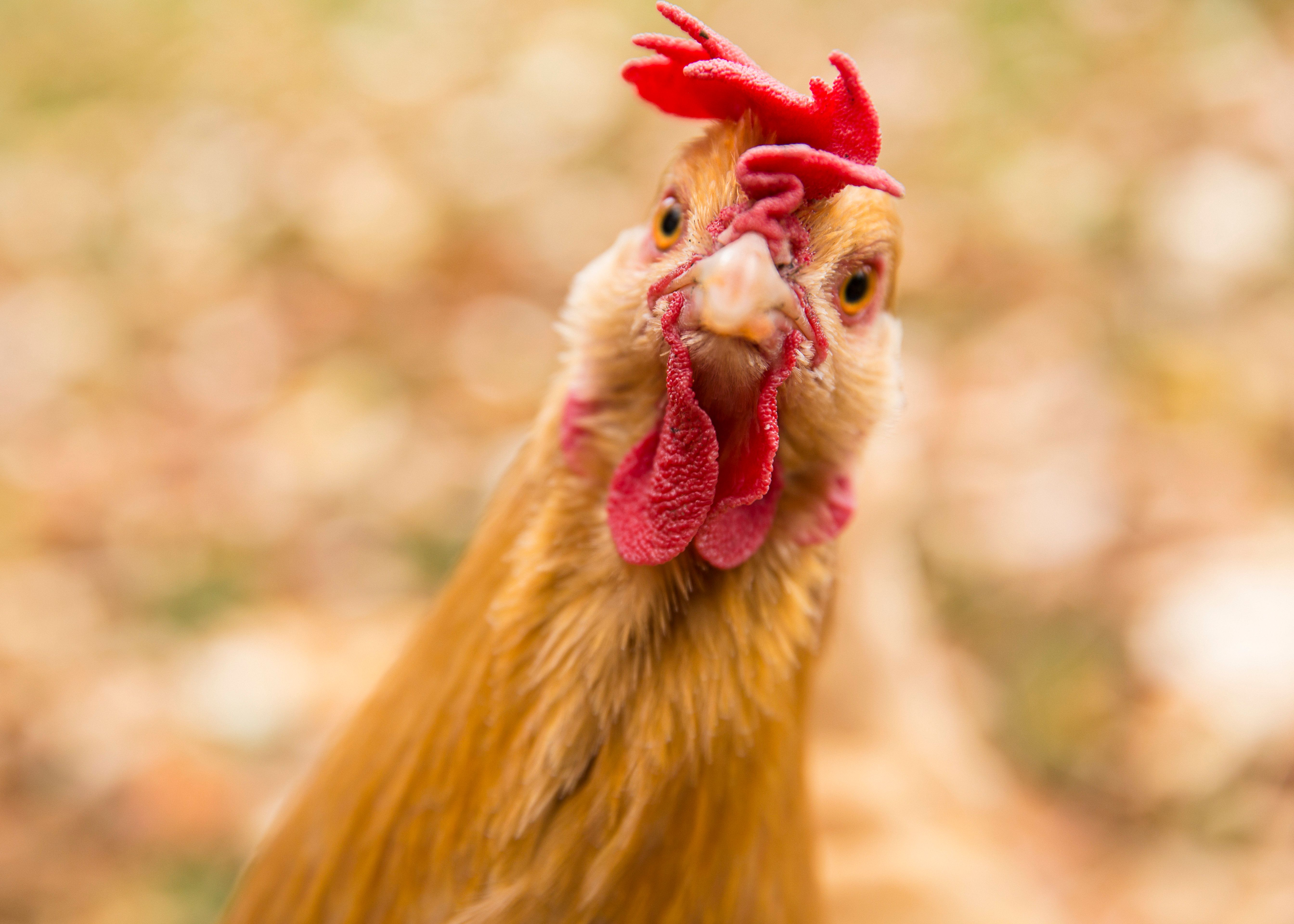 La venganza del tiranosaurio: por qué las gallinas no son bobas ni