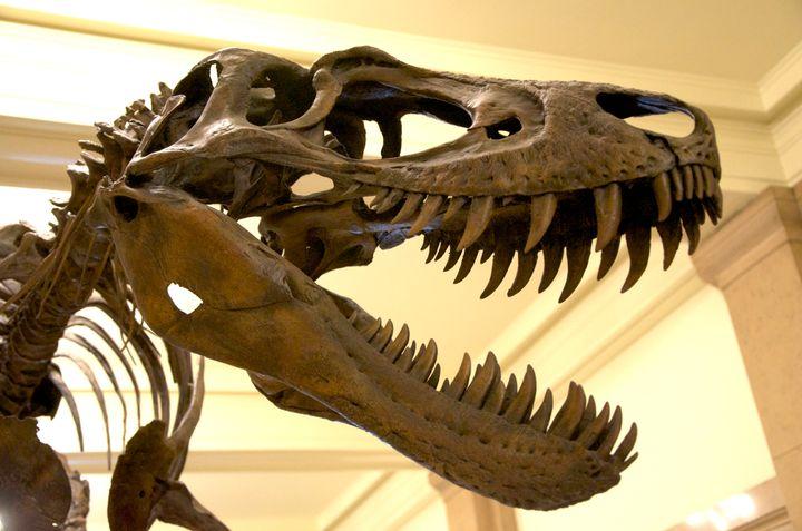 description 1 Juvenile Tyrannosaurus Rex aka Nanotyrannus mounted at the Carnegie Museum of Natural History, Pittsburgh | dat