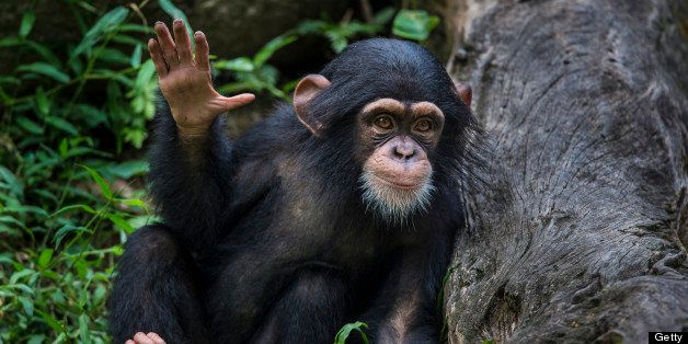 Chimpanzee youngster waving hand