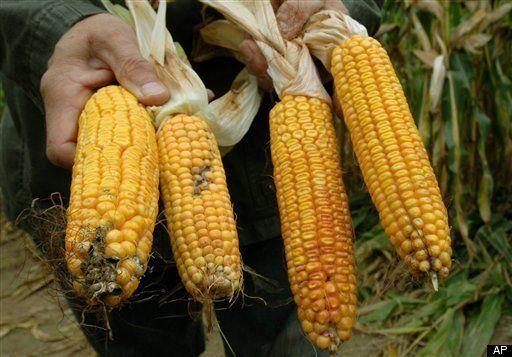 Acu-Na Wellness Center | MONSANTOS GMO CORN LINKED TO