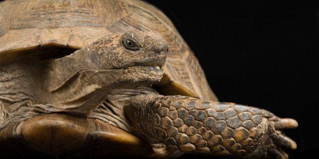 UNITED STATES - NOVEMBER 06:  An Arizona desert tortoise, Gopherus agassizii, Rolling Hills Wildlife Adventure, Salina, Kansa