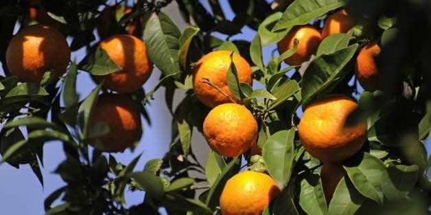 Ripe oranges hang on the trees in the Spanish city of Seville, January 27, 2011. AFP PHOTO / ODD ANDERSEN (Photo credit shoul