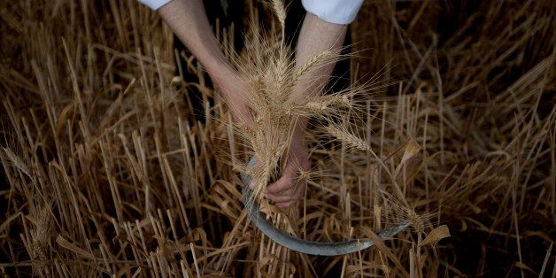 An Ultra Orthodox Jewish man harvests wheat ahead of the Jewish Shavuot holiday, in a field outside the Israeli community of