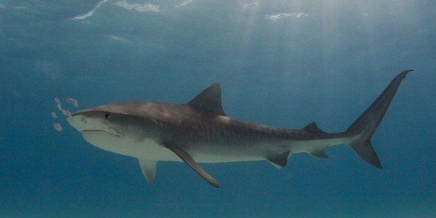 I shot this tiger shark at Tiger Beach.
