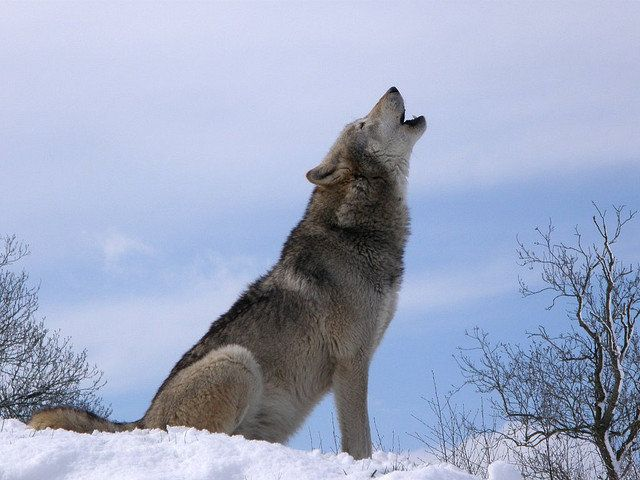 Dreams About Wolves: Dream Meanings Explained | HuffPost Life