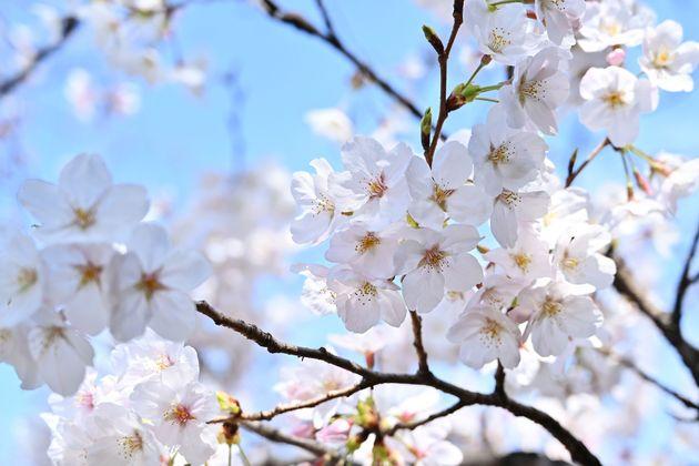 さくらの日に桜が満開 東京都心、ソメイヨシノは全国でトップ