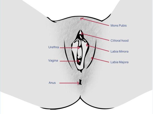 Monte de púbis, os lábios maiores e menores, o clitóris e as aberturas externas...