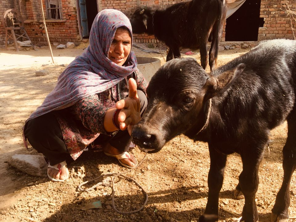 Jaibuna, Pehlu Khan's wife, plays with a baby buffalo at her home in Jaisinghpur village in