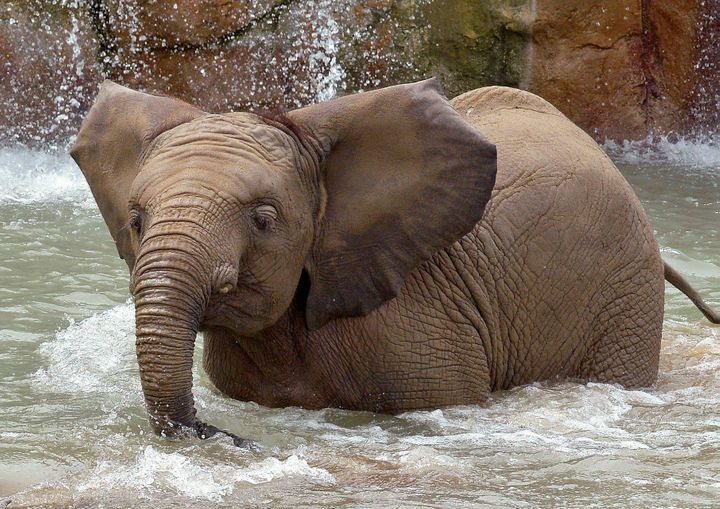 African elephants Kalina, 8, and Nyah, 6, (pictured) suddenly fell ill at the Indianapolis Zoo and died after showing signs o