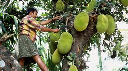 Guardian Wrote An Article On Jackfruit And Malayalis Are Not Having