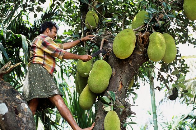 The Guardian Wrote An Article On Jackfruit And Malayalis Are Not Having