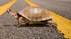 Σύγκρουση με χελώνα σε οδό ταχείας κυκλοφορίας... Ποιος