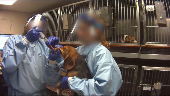 A beagle undergoing force-feeding at Charles River Laboratories in Mattawan, Michigan.