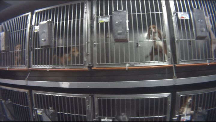 Beagles used for the Corteva Agriscience tests in steel cages at the lab.
